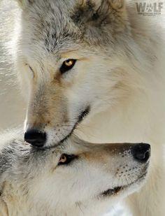 Beautiful Wolves : the-smiling-wolf: 😊🐺💖 Wolf Spirit, Spirit Animal, Beautiful Creatures, Animals Beautiful, Tier Wolf, Malamute, Animals And Pets, Cute Animals, Wolf Stuff