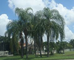 Queen palm trees