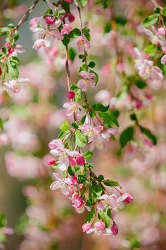 flowersgardenlove: apple blossom Flowers Garden Love