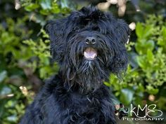 Norfolk, VA. My name is LICORICE. I am a spayed female, black Schnauzer, Mini & Poodle - Toy. Staff think I am about 3 yo. Have been here since 4/23/13. Comments: I have a high energy level so I need to get outside a lot to burn off my energy. Like playing w/ people & sometimes sitting around enjoying the company of others. I rather play with someone, then to be hugged by them. Because I get a little rough in my play... kids 12 yrs +. Norfolk Animal Care Ctr@ 757-441-5505.   ID #A008220