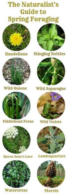 Wild eatable plants                                                                                                                                                                                 Mais
