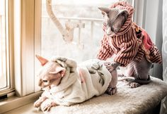 The Donskoy cat is a breed of cat known also by several other names including the Don Sphinx, Russian Donskoy, Russian Hairless and Don Hairless, is a unique breed of cat that is a great family pet