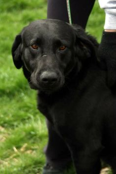 WALTER...BECKLEY, WV...Meet Walter a Petfinder adoptable Labrador Retriever Dog | Beckley, WV | Petfinder.com is the world�s largest database of adoptable pets and pet care information. Updated daily, search Petfinder for one of over 300,000 adoptable pets and thousands of pet-care articles!