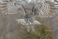 Photo: Great gray owl goes hunting Beautiful Birds, Animals Beautiful, Cute Animals, Wildlife Photography, Animal Photography, Latest Scientific Discoveries, Strix Nebulosa, Canadian Wildlife, Concours Photo