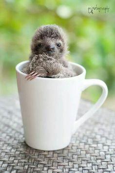 A cuppa sloth...lololololol!