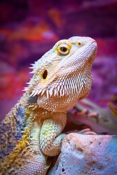 Bearded Dragon – Amazing Pictures - Plan Your Trip with UKKA.co. Find the Place, do booking Flight, Reserve the Hotel on UKKA.co Free Online Travel Planner