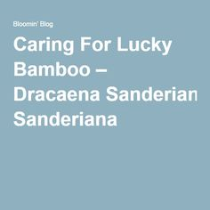 Caring for Lucky Bamboo - Dracaena sanderiana plant care described in detail. Lucky Bamboo, Plant Care, Container Gardening, Planting Flowers, Tips, Blog, Greenery, Life Hacks, Advice