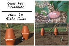 Ollas For Irrigation Tutorial | Using ollas is a time-honored approach to irrigation during drought conditions as it loses less water to evaporation.