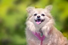 Willow the Pomeranian - Meet Willow the Pom a 13 year old Pomeranian down at Dallas Road Park.