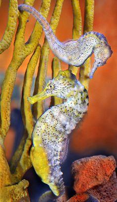 Two sea horses frolic at the Birch Aquarium at Scripps in La Jolla, California. Underwater Creatures, Underwater Life, Ocean Creatures, Leafy Sea Dragon, Life Under The Sea, Beautiful Sea Creatures, Salt Water Fish, Water Animals, Life Aquatic