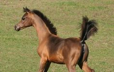 Oak Ridge Arabians - Giovanni Chall MTC