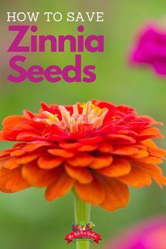Bobo Hydrangea, Hydrangea Seeds, Flower Seeds, Zinnia Garden, Herb Garden Design, Garden Ideas, Herbs Garden, Garden Trellis, Cement Patio
