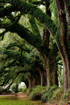 Ancient Oak Trees.