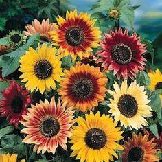 Autumn Beauty sunflower seeds - Garden Seeds - Annual Flower Seeds
