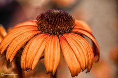 Echinacea 'Tangerine Dream' is but one of the many colors of coneflower now available.