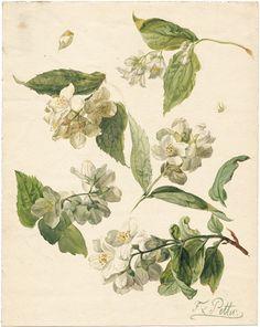 heaveninawildflower:  Sweet Mock Orange Philadelphus coronarius(circa 1817) by  Franz Xaver Petter  http://www.bassenge.com/Wikimedia