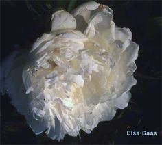 """Elsa Sass - P. lactiflora cultivar, introduced by Hans P. Sass, 1930; double, white, late, approx. 26 - 36"""" (65 - 90 cm) tall, fragrant. Winner of the American Peony Society Gold Medal winner in 1943; exceptionally beautiful, large, velvety, rose-form blossoms of pure white; mild, pleasing fragrance; compact plant with strong, rigid stems; good cut flower"""