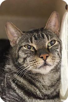 Philadelphia, PA - Domestic Shorthair. Meet Fee-Fee, a cat for adoption. http://www.adoptapet.com/pet/17453628-philadelphia-pennsylvania-cat