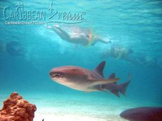 Nurse shark swimming and people snorkeling seen in the background Punta Cana Excursions, Punta Cana Vacations, Punta Cana All Inclusive, Shark Diving, Shark Swimming, Sharks, Punta Cana Activities, Nurse Shark, Best Snorkeling