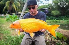 That goldfish you flushed down the toilet when you were 7? He wasn't dead... Awesome : @the.fly.literalist  #fishing #carp #goldfish #koi #flyfishing - Book your next fishing trip on Amberjack.com today.