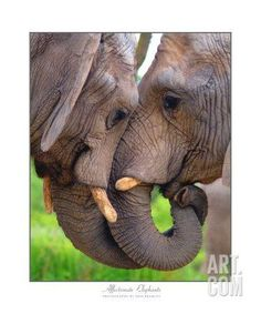 Elephant Kiss Photographic Print by Neil Bramley at Art.com