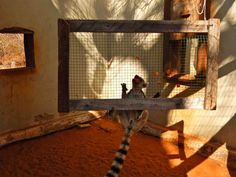 Mowgli using the foraging net at the Reniala Lemur Rescue Center!