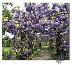 No Secret Garden is complete without Wisteria ....I think it's one of my favorites besides Sunflowers..