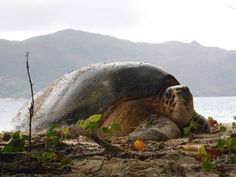 Another gorgeous shot of a nesting Hawsbill turtle on Curieuse Island!  #gvi #volunteer #nature