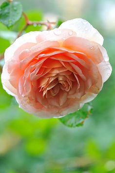 David Austin Rose Abraham Darby bought at western Garden (sandy) 2013 Another great rose for Michigan gardens!