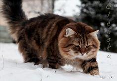 gatto siberiano -