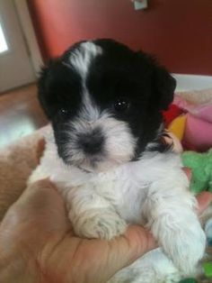 Adorable Little Shih-Poo Puppy (Shih-Tzu/Toy Poodle)