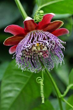 Grenadilla Flower - Passiflore ~ Photos Hub