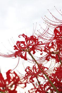 Lycoris radiata by Yukio Shimizu on 500px