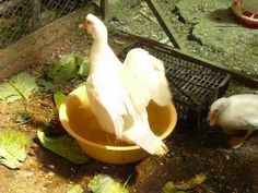 Néma kacsák 3 hónaposak