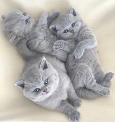 These cute kittens will brighten your day. Cats are awesome companions. Cute Cats And Kittens, I Love Cats, Crazy Cats, Kittens Cutest, Pretty Cats, Beautiful Cats, Animals Beautiful, Cute Baby Animals, Funny Animals