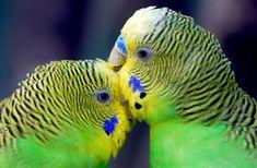 34 Stunning Pictures Of Exotic Birds Budgies Parrot, Budgie Parakeet, Parakeets, Parrots, Cute Birds, Pretty Birds, Beautiful Birds, Parakeet Names, Hilarious Animals