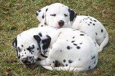 Napping dalmatians