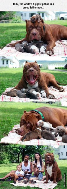 Hulk The Worlds Biggest Pitbull Is Now A Proud Father cute animals dogs adorable dog puppy animal pets animal families