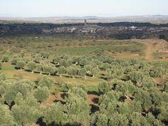 Olivos centenarios del Bajo Aragón