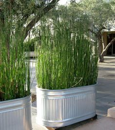 """Snake grass in galvanized tubs Equisetum is the only living genus in Equisetaceae, a family of vascular plants that reproduce by spores rather than seeds. Equisetum is a """"living fossil"""" . Outdoor Projects, Garden Projects, Diy Projects, Spring Projects, Pallet Projects, Jardin Decor, Metal Tub, Backyard Landscaping, Backyard Ideas"""