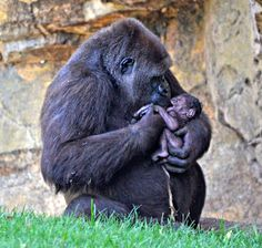 Visitors watched the birth of this baby Gorilla at BIOPARC Valencia on August 15.  See video of mom caring for her newborn at ZooBorns.com and at http://www.zooborns.com/zooborns/2016/08/zoo-guests-witness-gorilla-birth.html