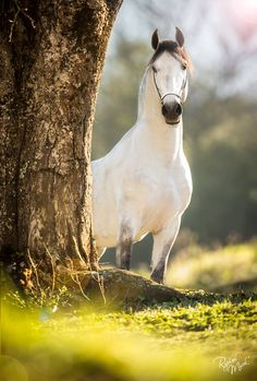Curiosity... Photography by Raphael Macek. #Horse #Equine #Arabian #Stallion #Dapple_grey #Nature