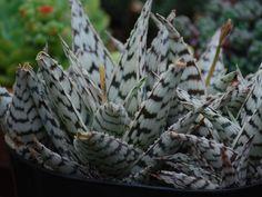 Aloe hybrid 'Blizzard'