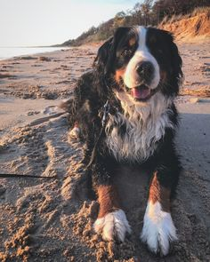 Dog Funny Videos - - - Harry Potter Dog Names Cute Baby Dogs, Cute Dogs And Puppies, Doggies, Beautiful Dogs, Animals Beautiful, Burmese Mountain Dogs, Swiss Mountain Dogs, Cute Little Animals, Dog Pictures