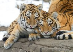 Two Siberian Tiger Cubs.                            (Photo Taken at The Bronx Zoo.)