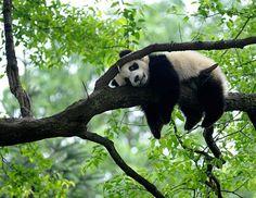 Panda hanging round