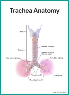 Trachea Anatomy-Respiratory System Anatomy and Physiology    https://nurseslabs.com/respiratory-system/