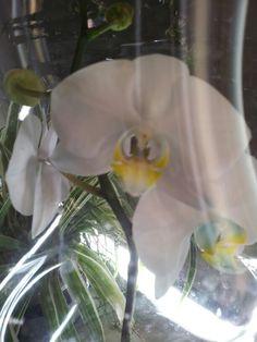 Dit was een blauwe orchidee nu op nieuw in bloei zit er toch nog wat blauw in super