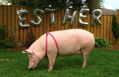 The Times They are A-Changin':The Day I Attended a Pig's Birthday Party. Esther The Pig! Hog Pig, One Green Planet, Cute Piglets, Pet Pigs, Baby Horses, Pig Birthday, Green Monsters, This Little Piggy, The Way Home