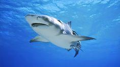 ikan-hiu-2.jpg (833×469)